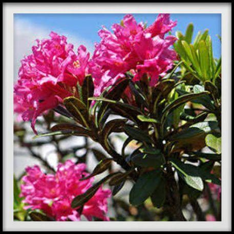 สารสกัดสเต็มเซลล์จากดอกกุหลาบทิวเขาแอลป์ (Rhododendron Ferrugineum Leaf Cell Culture Extract)จากประเทศสวิสเซอร์แลนด์ ในครีมV2 Revolution ดอกกุหลาบที่ทิวเขาแอลป์ เป็นพืชที่เติบโตได้ในพื้นที่ ซึ่งสูงขึ้นมากยิ่งกว่าระดับน้ำ ห้วงมหาสมุทร (High altitude) 3200 เมตร ส่วนใบของดอกกุหลาบชนิดนี้เขียวชอุ่มทั้งปี ใบของมันได้มีการปรับสภาพการณ์เพื่อทนต่อลักษณะภูมิอากาศที่หนาวเย็น ความแห้ง และรังสี UV ที่มีความร้ายแรง ด้วยเหตุดังกล่าวคุณลักษณะอันเด่นของสารสกัดสเต็มเซลล์จากใบดอกกุหลาบที่ทิวเขาแอลป์เป็นการทนต่อสภาพการณ์รุมที่มีความร้ายแรงแล้วก็มีการแปลงอย่างเร็วได้อย่างดีเยี่ยม เจอสารสำคัญ สารกรุ๊ป Dehydrin ซึ่งเป็นสารโปรตีนที่ช่วยเก็บกักน้ำเจริญ (Water-retaining) , Metabolites คุณลักษณะสารสกัดสเต็มเซลล์จากดอกกุหลาบทิวเขาแอลป์ในครีมวีทู - ช่วยคุ้มครองป้องกันความอ่อนวัยของผิวให้นานขึ้น และจากนั้นก็ช่วยทำให้ผิวดูดี กระปรี้กระเปร่า - ช่วยเก็บกักน้ำให้กับผิว ทำให้ผิวกระชุ่มกระชวย ไม่แห้งหยาบกระด้าง - ช่วยคุ้มครองผิวชั้นนอกจากการทำลายของรังสี UV - ช่วยสร้างเสริมให้ผิวแข็งแรง พร้อมต้านทานมลพิษที่ชั่วร้ายต่างๆ