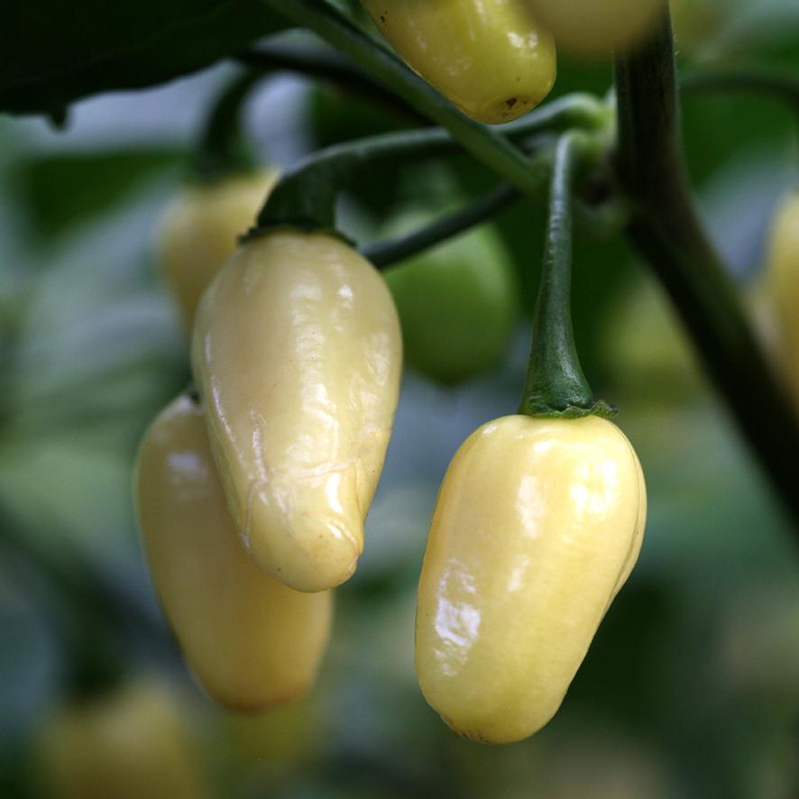 พริกฮาบาเนโร่สีขาว - White Habanero Pepper