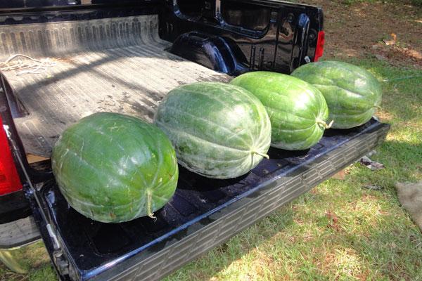 แตงโมแบล็คไดมอนด์ - Black Diamond Watermelon