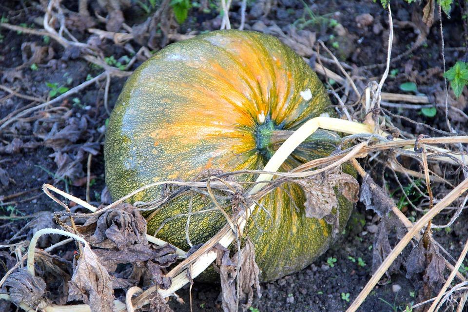 ชุดปลูกฟักทอง (Pumpkin) ออแกนิกส์