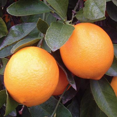 Improved Meyer Lemon (เมเย่อเลม่อน)