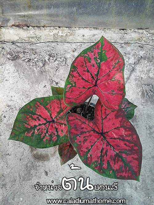 ต้นบอนสี องค์หญิงเตือนตาเตือนใจ ขนาดกระถาง6นิ้ว