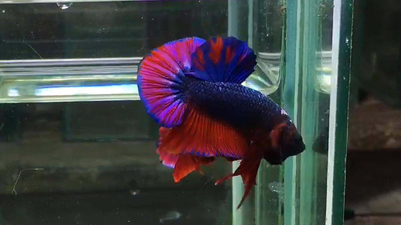ปลากัดคัดเกรดครีบสั้น - Halfmoon Plakad Fancy Dragon (Red Blue) Quality Grade AAA+