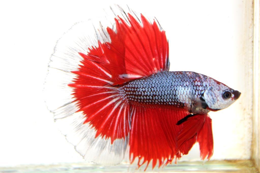 """""""คัดเกรดประกวด""""ปลากัดครีบยาว-Halfmoon Fancy Red Butterfly Premium Quality Grade AAA+"""
