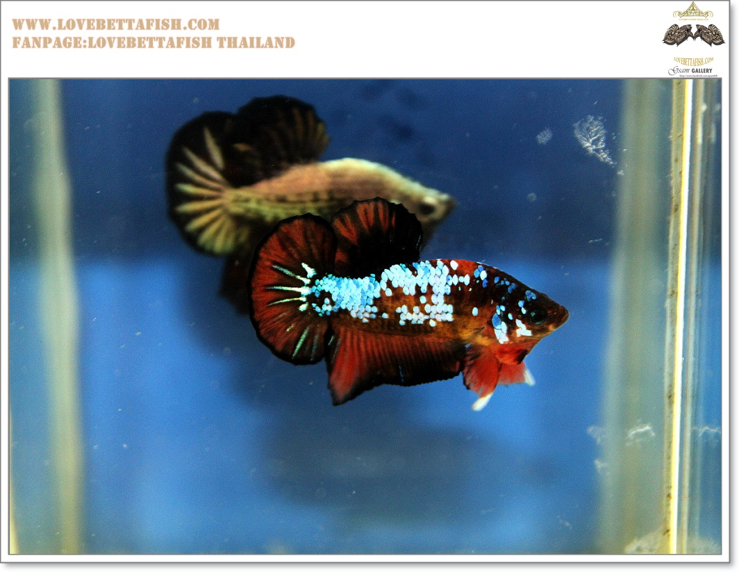 (ขายแล้วครับ)คัดเกรดปลากัดครีบสั้น-Halfmoon Plakat Fancy Devil Amazing