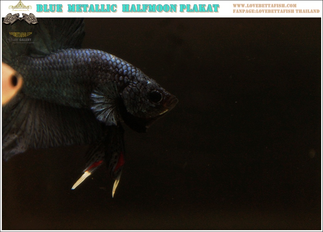 """(ขายแล้วครับ)""""คัดเกรด""""ปลากัดครีบสั้น-Halfmoon Plakats Blue Metallic Quality Grade"""