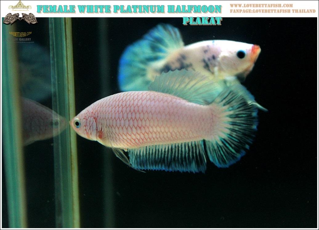 """(ขายแล้วครับ)""""คัดเกรด""""ปลากัดครีบสั้นตัวเมีย-Female Halfmoon Plakats White Dragon A++"""