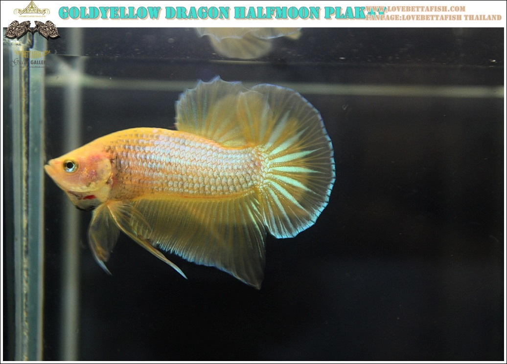 """(ขายแล้วครับ)""""คัดเกรด""""ปลากัดครีบสั้น-Halfmoon Plakats Yellow Gold Dragon 002"""