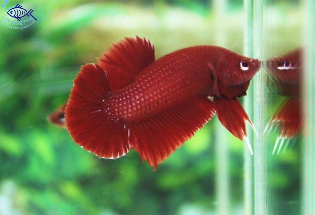 """(ขายแล้วครับ)""""คัดเกรด""""ปลากัดครีบสั้น - Halfmoon Plakats SUPER RED02"""
