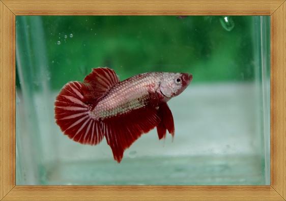 ปลากัดครีบสั้น - Halfmoon Plakats Red Dragon