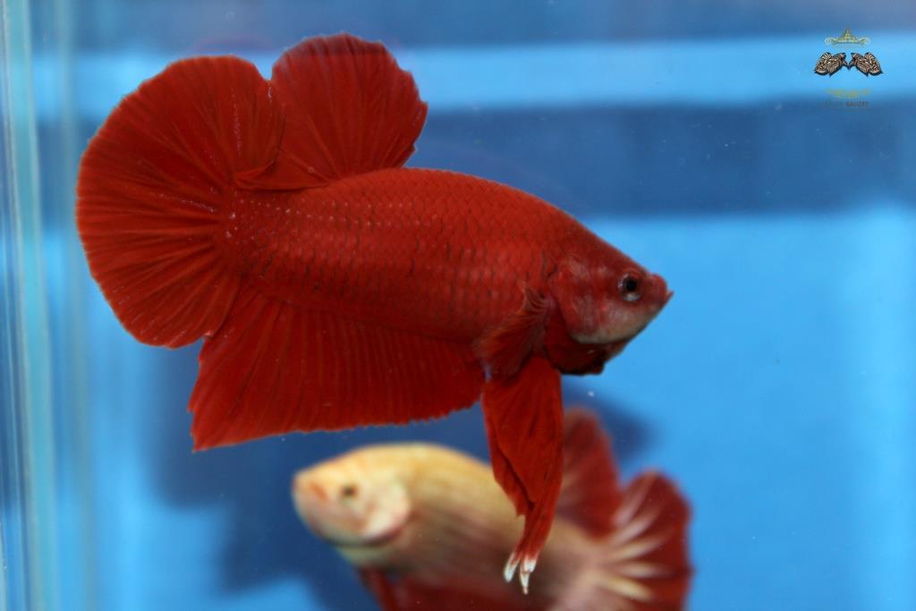 คัดเกรดปลากัดครีบสั้น-Halfmoon Plakad Premium Quality Grade Super Red
