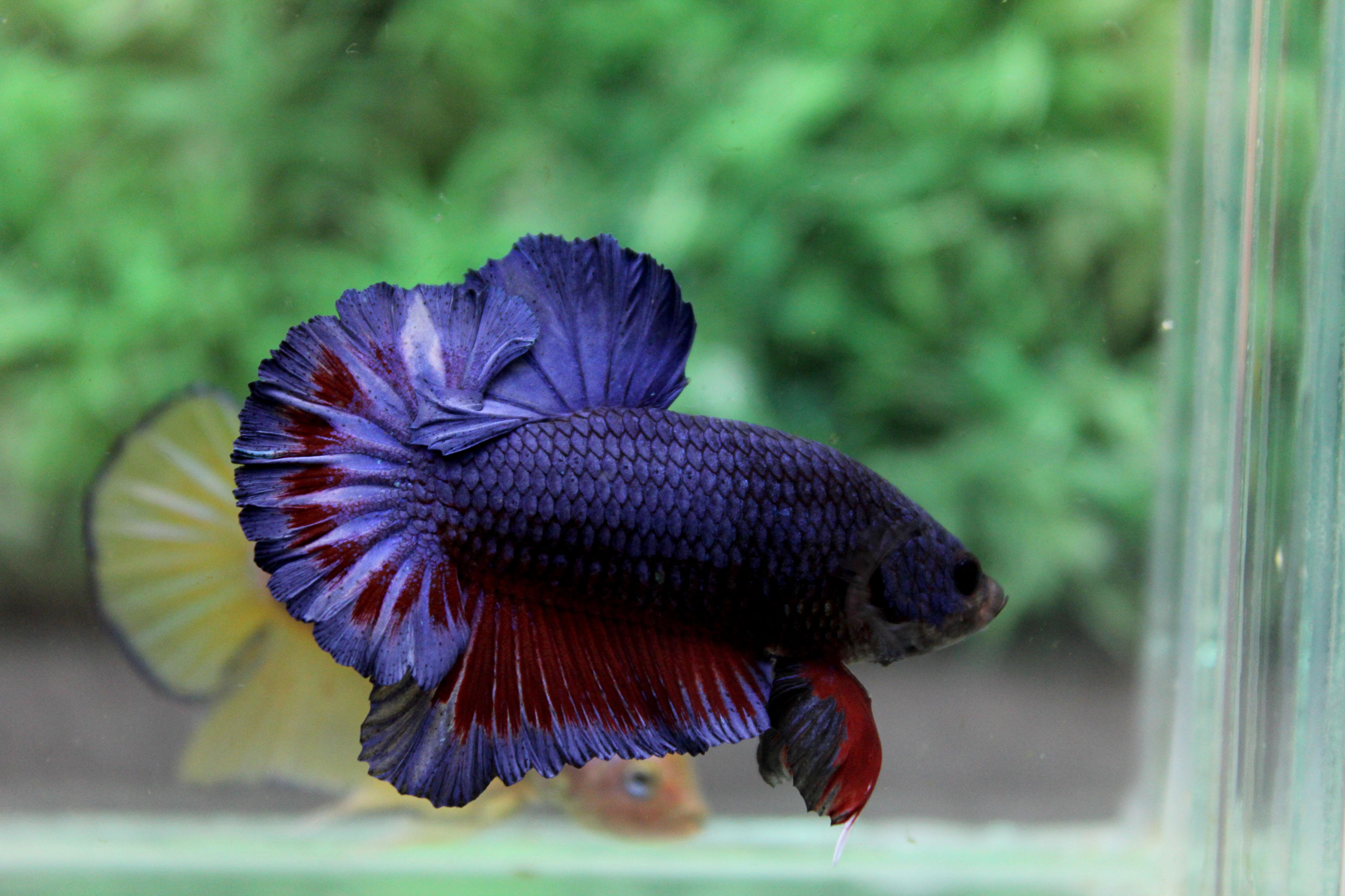 คัดเกรดปลากัดครีบสั้น-Halfmoon Plakad Quality Grade Fancy Colors Blue Red Over Tails