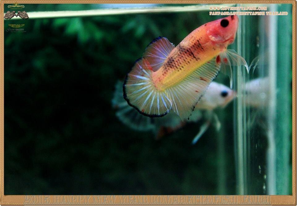 คัดเกรดปลากัดครีบสั้น-Halfmoon Plakat Fancy Nice Colors