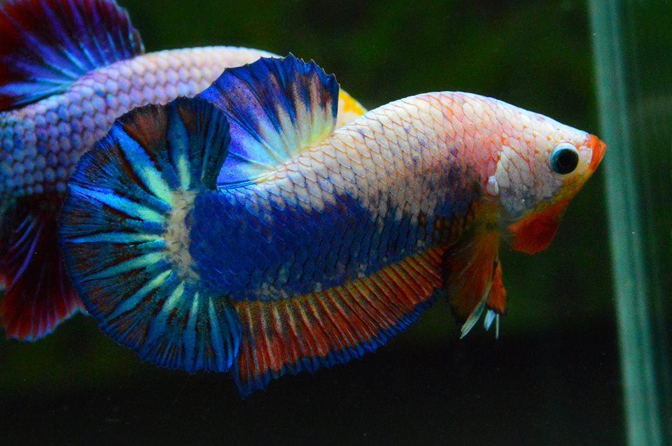 คัดเกรดปลากัดครีบสั้น-Halfmoon Plakad Fancy Dragon Qaulity Grade