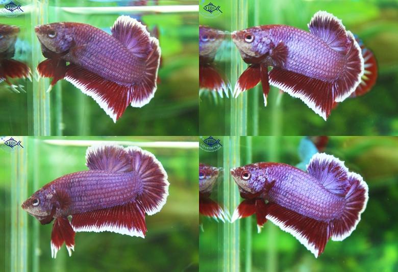 """(ขายแล้วครับ)""""คัดเกรด""""ปลากัดครีบสั้น-Halfmoon Plakats Lavender"""