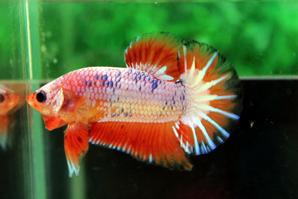 คัดเกรดปลากัดครีบสั้น-Halfmoon Plakat Orange Marble Hi - Quality Grade