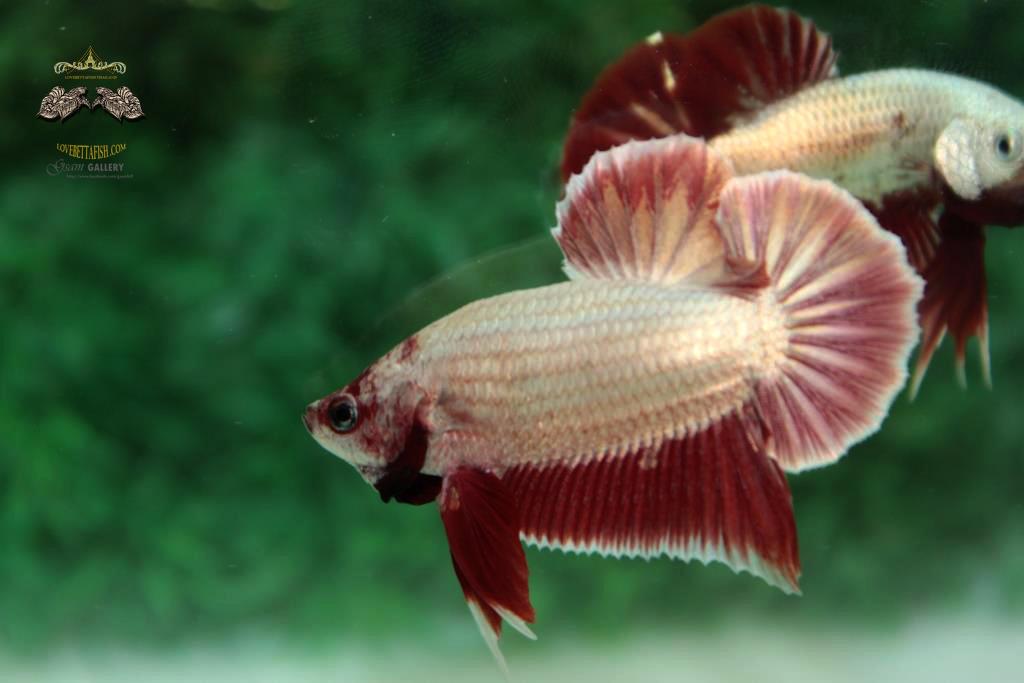 ปลากัดคัดเกรดครีบสั้น - Halfmoon Plakad Red Dragon Quality Grade